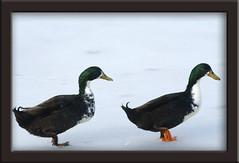 on the ice (salma1) Tags: winter cold ice birds ducks maryland waterfowl salma1 sonyalpha