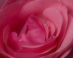 Orton Rose (Photos by Elyssa) Tags: pink flower rose orton adobelightroom gtaggroup goddaym1 wowiekazowie