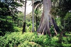 Jungle (mm-j) Tags: africa green guinea fuji superia scan contax jungle 200 leafy t2 buttresstree