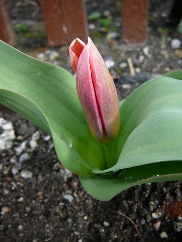 Tulpen 2007 (01)