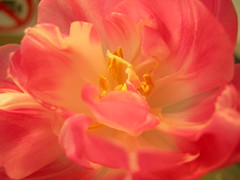 More of that Boredom (The Infatuated) Tags: pink flower macro rosa tulip blte tulpe twotickets twoticketsde