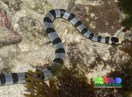 Yellow-lipped sea snake (Laticauda colubrina)