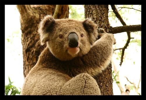 Koala - Mt. Ecles National Park