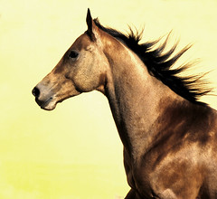 freedom is golden (Dan65) Tags: horse beauty gold freedom 1 golden movement bravo explore february canter mane 2007 gallop akhalteke magicdonkey zwlfaxing abigfave gazan diamondclassphotographer flickrdiamond