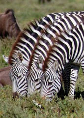 3 Zebras (t i g) Tags: africa tanzania stripes wildlife safari zebra serengeti zebras fragmentation kindel topshot specanimal photo365 photo365kindel