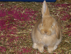 Helicopter! (Sjaek) Tags: pet cute rabbit bunny funny sweet adorable fluffy ears helicopter bun impressedbeauty