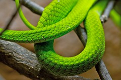 emerald coils (jetrotz) Tags: green wow interesting screensaver snake explore coil emerald fernbank