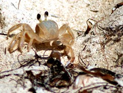 Crab (AC-FotoWorx) Tags: seaweed beach nature animal sand natural crab jamaica crustacean jetsom flotsom trellawnybeach