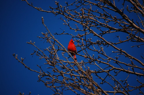 Cardinal Roost