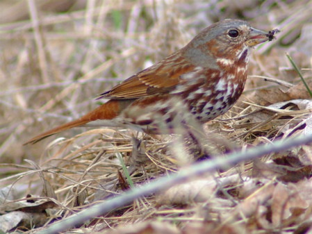 fox sparrow food