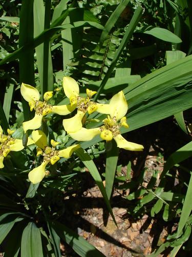Neomarica longifolia