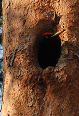 Black woodpecker in the hollow