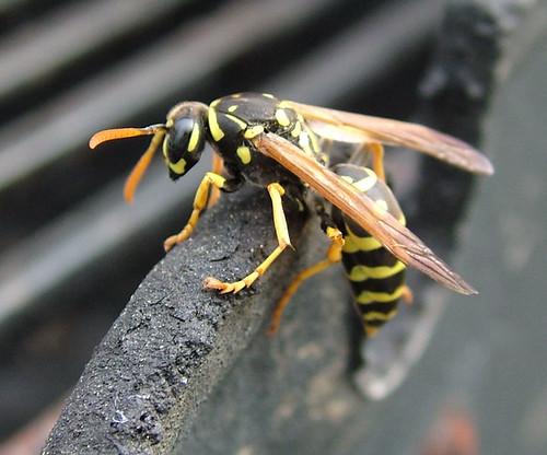 Queen Wasp Size European Paper Wasp, q...