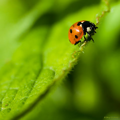 Ladybug (zhensem) Tags: macro nature leaves closeup bug insect leaf dof bokeh ladybird ladybug hpm greenandred sigma1770 gardenvisitors canon400d impressedbeauty megashot alemdagqualityonlyclub