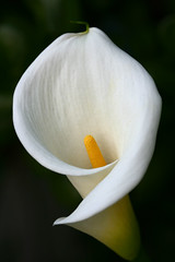 Calla Lily in shade (Mac Danzig Photography) Tags: light white flower macro green nature yellow canon outdoors mac flora soft lily natural calla blossom bokeh 100mm petal usm shaded blueribbonwinner macroism abigfave impressedbeauty macdanzigphotography macdanzigphotography tnc11