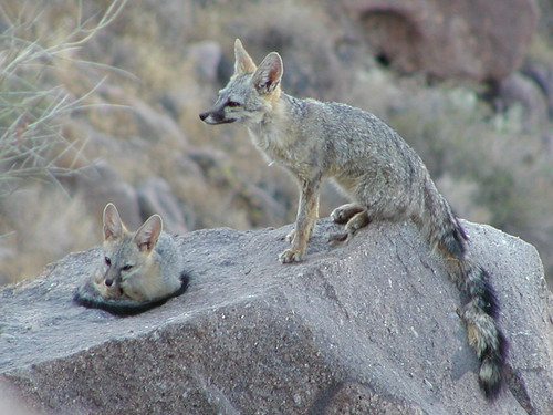 Mom and pup Kit Foxes1
