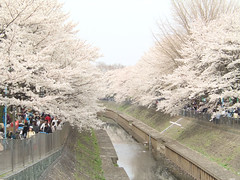 Cherry Blossom (takeshi+81) Tags: park pink flowers trees flower tree nature japan river garden cherry japanese tokyo spring blossom blossoms cherryblossom  sakura cherryblossoms  hanami