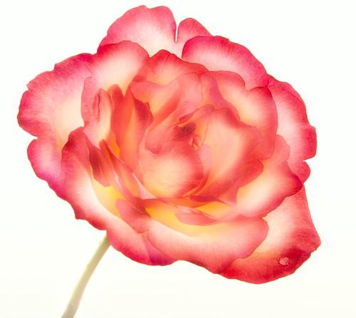 Rose Study 10