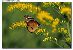 butterfly (wildlens) Tags: wild india colour macro green nature yellow horizontal butterfly asian nikon asia close natural wildlife indian  colourful gujarat jadeja manjeet specanimal anawesomeshot yograj manjeetyograjjadeja