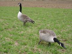canada geese (A.J.O) Tags: grass finland geese spring reaching goose canadagoose brantacanadensis