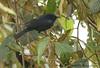 Capped Conebill (Michael Woodruff) Tags: male bird birds ecuador birding cloudforest capped choco nwecuador oldnonomindord nonomindo nonomindord cappedconebill conebill conirostrum conirostrumalbifrons