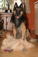 What are you shepherd or sheep?!? (Katja Turnsek) Tags: fur noir shepherd shed du belgian tervuren shedding cadre raider tervueren