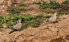 Tortolas 2 (joaquim_cazorla) Tags: birds aves animales tortola streptopeliadecaocto eareddove pentaxk10d