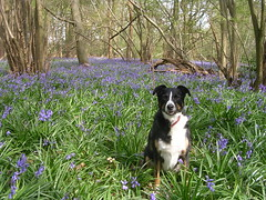 Tess in the bluebells: 2007 (skoop102) Tags: wood flowers blue trees dog flower tree dogs bluebells woods pretty purple brandon lilac doggy tess coventry bluebell doggie warwickshire tessie bluebellwoods bluebellwood binleywoods brandonwood tessbess