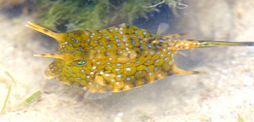 cowfish swimming