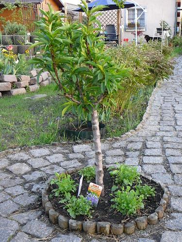 Nektarinenbaum mit Glockenblumeneinrahmung