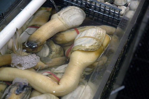 HISTORY LESSONS FROM GEODUCKS
