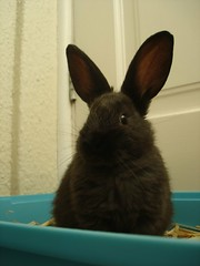 sitting pretty cute (ildarabbit) Tags: new pet baby black cute bunnies home furry fuzzy small rabbits ours