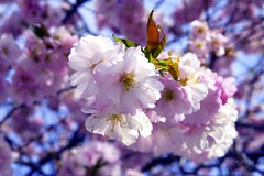 Sakura ( B i b b i ) Tags: pink white tree canon spring sweden rosa explore cherryblossom sakura sverige trd 2007 vr 30d naturesfinest vit krsbrsblom canon30d interestingness124 i500 abigfave sigma1770mmf2845dcmacro explore27apr07