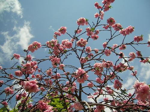 桜もそろそろ終わり。また、来年逢いたいわね