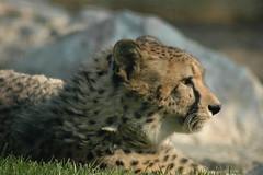Ghepardo (Rosso (afka siamonesti)) Tags: animals zoo cheetah bergamo ghepardo cornelle parcofaunistico