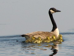 Stay close (ET Photo Home!) Tags: lake water birds swim geese goose chicks naturesfinest anawesomeshot