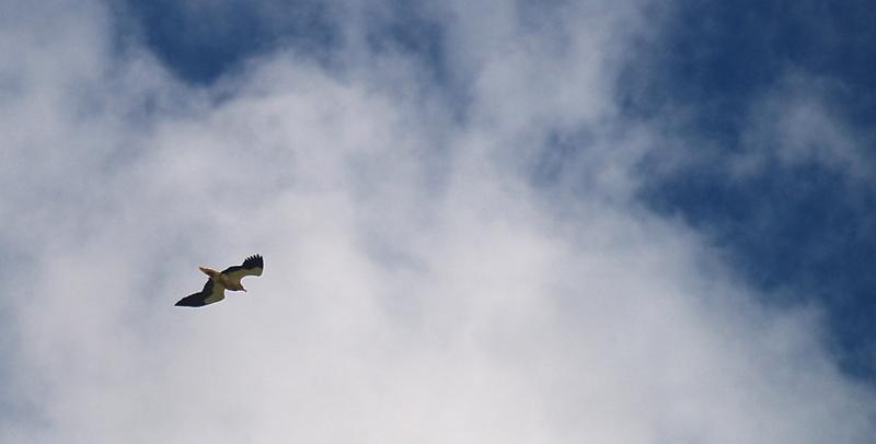 Alimoche: vuelo en solitario