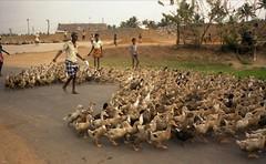 India - Ducks in Kerala (hjfklein) Tags: india klein kerala rajasthan hjfklein sajjansingh unseenindia