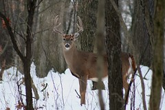 White-tail Buck (Hard-Rain) Tags: trees winter usa snow chicago game tree animals closeup forest illinois woods hiking wildlife hunting hike deer antlers rack trophy forestpreserve buck mountainbiking mammals stalk palos mammalia hunt whitetail deerhunting whitetailed odocoileus odocoileusvirginianus cervidae chordata artiodactyla 10point bullfroglake explore151 chicagoforestpreserve palosforestpreserve abigfave