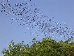 Bats over San Antonio (Valerie Craig (Val Ann)) Tags: trip nature animal animals flying texas wildlife bat mammals bats brackencave valann valann422