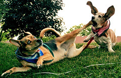 karate chop (* Sontheimer Pictures *) Tags: dog playing cute dogs fly hilarious mutt puppies husky funny play kick wrestling canine basset bassethound wrestle dogplay suckerpunch karatechop roughhousing bellylaugh huskymix flyingears sjs2 jls11 jrs7