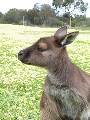 Kangaroo Island Gray Kangaroo
