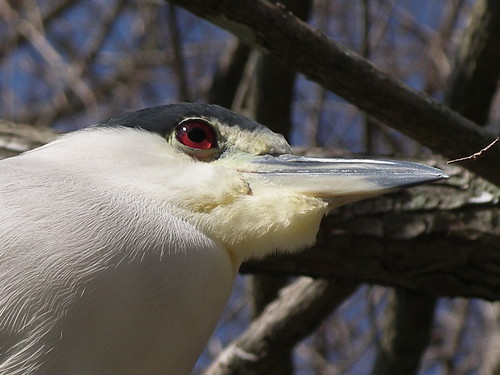 Black-crowned night heron by alumroot