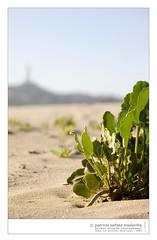 herradura_07_04_2005_a001 (deymus) Tags: playa beach arena sand planta plant laherradura coquimbo chile