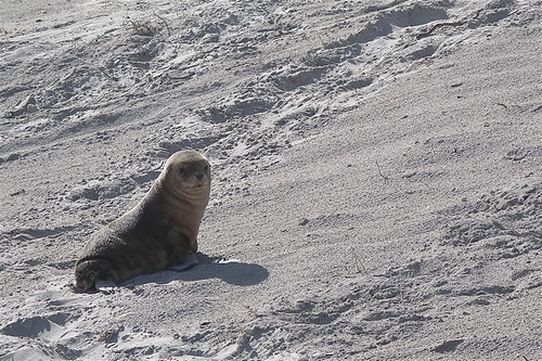 Sea lion pup waiting for mother