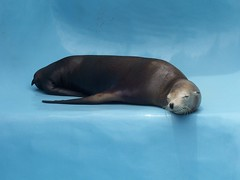 Sleepy Sea Lion (animefx) Tags: ocean 2005 blue sleeping sea cute animals happy cool florida kodak lion explore sleepy portfolio sealion cx7525 flickrcast interestingness135 i500 kodakcx7525 kodakcx7525zoom flickrthedigitalphotographyrevolution explore20050704 sleepysealion
