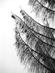 Swiss Pines [bw] (Spigoo) Tags: blackandwhite bw alps tree silhouette pine backlight contrast alpes switzerland blackwhite suisse swiss silhouettes outline worthy topcropspigoo