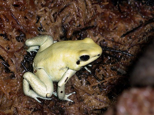 the terrible poison frog by alumroot