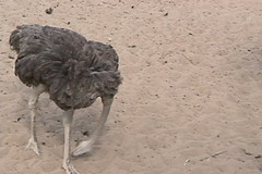 ostrich putting its head in the sand