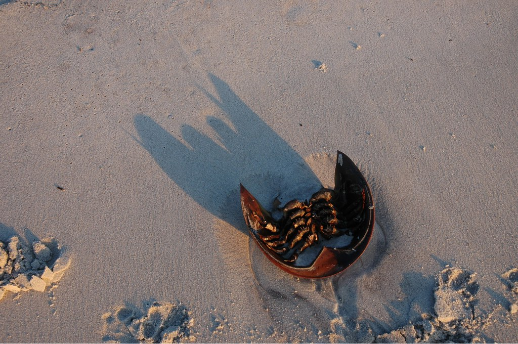 Horseshoe crab shell at sunset